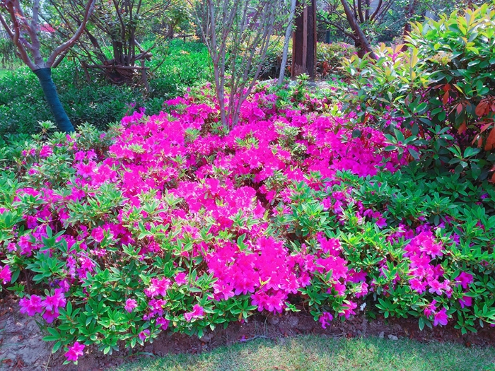 『海尔·滟澜公馆』的业主们,你们小区的杜鹃花开了!快来一起赏花啊!